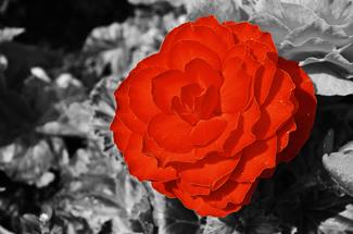 red_flower1